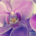 Orchid - Lilac Dark by Hannes Cmarits