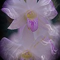 Orchid Ruffles by Kathleen Struckle