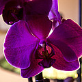 Orchids by Sheree Lauth