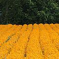 Oregon Orange Field Panoramic by Mike Nellums