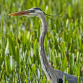 Orlando Wetlands Great Blue Heron by Art Spearing