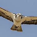 Osprey In Flight by Dale Powell
