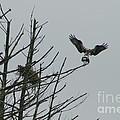Osprey Love by Neal Eslinger