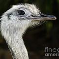 Ostrich by Raymond Earley