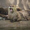 Otter North American  by LeeAnn McLaneGoetz McLaneGoetzStudioLLCcom