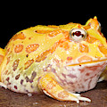 Pac Man Frog Ceratophrys by David Kenny