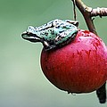 Pacific Tree Frog On A Crab Apple by David Nunuk