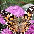 Painted Lady Butterfly Up Close by MTBobbins Photography