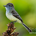 Pale-edged Flycatcher by Anthony Mercieca