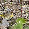 Palm Warbler by Jack R Perry