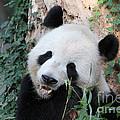 Panda Eating by Dwight Cook