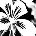 Pansy Flower Black And White 01 by Alexander Senin