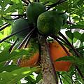 Papaya Tree by Christiane Schulze Art And Photography