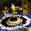 Passion Flower by Brothers Beerens