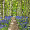Path Through Bluebells Resembling Water Colour by Rosemary Calvert