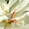 Peaceful Sentinel Of The White Peony by Renee Croushore