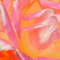 Peachy Pink Rose by Virginia Forbes