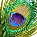 Peacock Feather by Science Photo Library