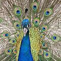 Peacock Full Plumage by Ian Mcadie
