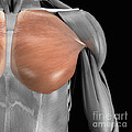 Pectoralis Major Muscle by Science Picture Co