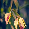 Pedilanthus Bracteatus Euphorbiaceae - Slipper Plant by Sharon Mau
