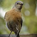 Peering Bluebird by Jean Noren