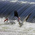 Pelican Drama by Carol Groenen