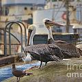 Pelican Duo by Donna Greene