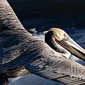 Pelican Flight by John Daly