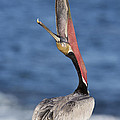 Pelican Head Throw by Bryan Keil