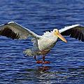 Pelican Landing by Bill Dodsworth