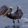 Pelican Takeoff by J L Woody Wooden