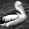 Pelican by Terence Kneale