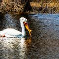 Pelican  by Tom Gort