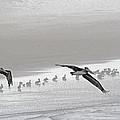 Pelicans Foggy Picnic  by Tom Janca