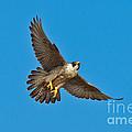 Peregrine Falcon In Flight by Anthony Mercieca