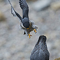 Peregrine Falcons Mating by Anthony Mercieca