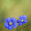 Perennial Flax Flowers by Inga Spence