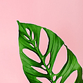 Philodendron Leaf On Pink by Juj Winn