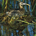 Pied-billed Grebe Nesting Texas by Tom Vezo