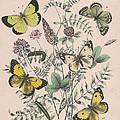 Pieridae by W Kirby