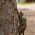 Pine Squirrel by Fred Stearns