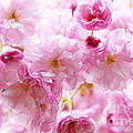 Pink Cherry Blossoms  by Elena Elisseeva