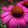 Pink Coneflower by M Hess