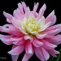 Pink Dahlia by Jeanette C Landstrom