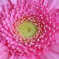 Pink Daisy by Carol Lynch