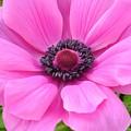 Pink Anemone  by Jeannie Rhode