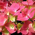 Pink Hydrangea Flowers by Duane McCullough