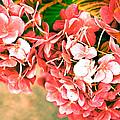 Pink Hydrangea by Ronda Broatch