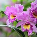 Pink Orchids by Sabrina L Ryan